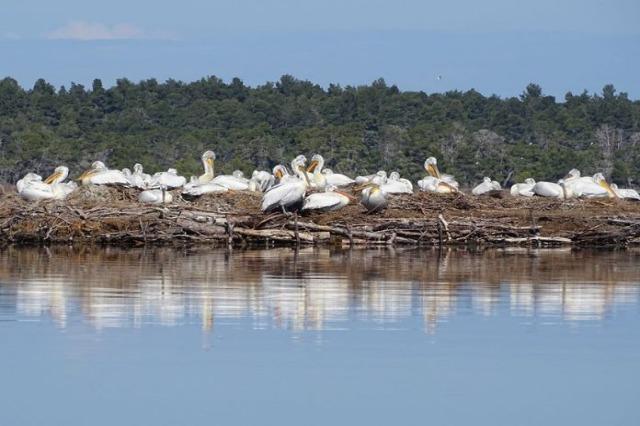 Die Vogel-Beobachter haben 179  Krauskopfpelikane in der Region zwischen dem Fluss Vjosa und dem Dorf Narta  gezählt