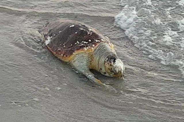 Eine  große See-Schildkröte wurde am Ufer der Adria in Durres gefunden
