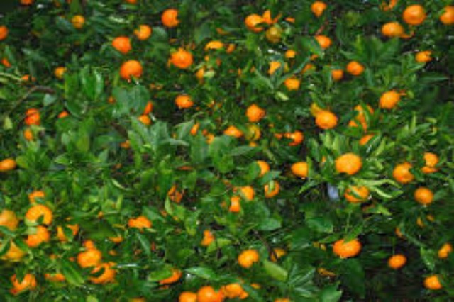 Experts: Planting citrus and especially tangerines is a profitable agricultural activity