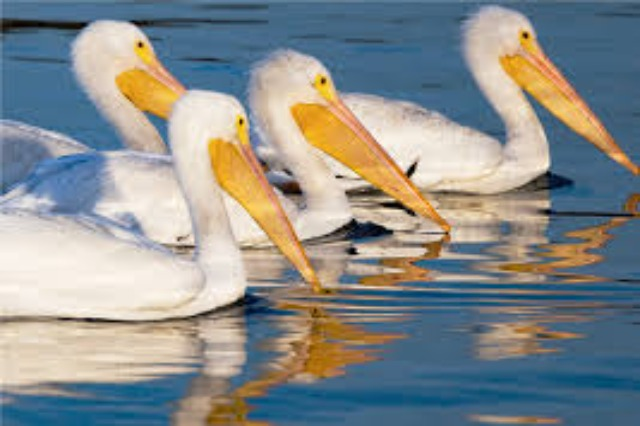 Washington Post: Colony of shy Albanian pelicans flourishes during pandemic