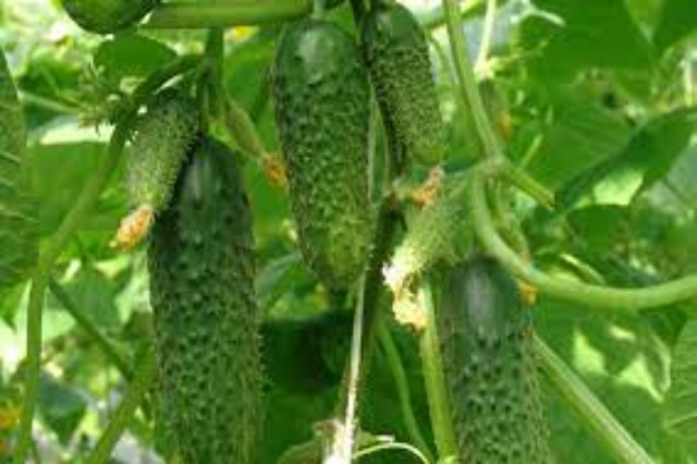 500 farmers in Fier, exclusive contract for export to Austria of Cornishon cucumber