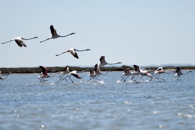 Vain lagoon/ Flamingos return to their natural habitat